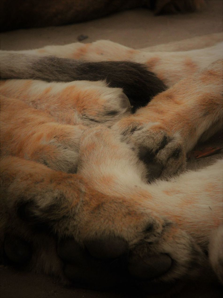 Animal Body Part Animal Photography Animal Themes Animal Wildlife Animals Claws Close-up Day Details Family Leisure Time Lions Mammal Nature Nature Photography No People On The Ground Pads Paws Relaxing Sleeping Togetherness Wild Animals Wildlife Zoology