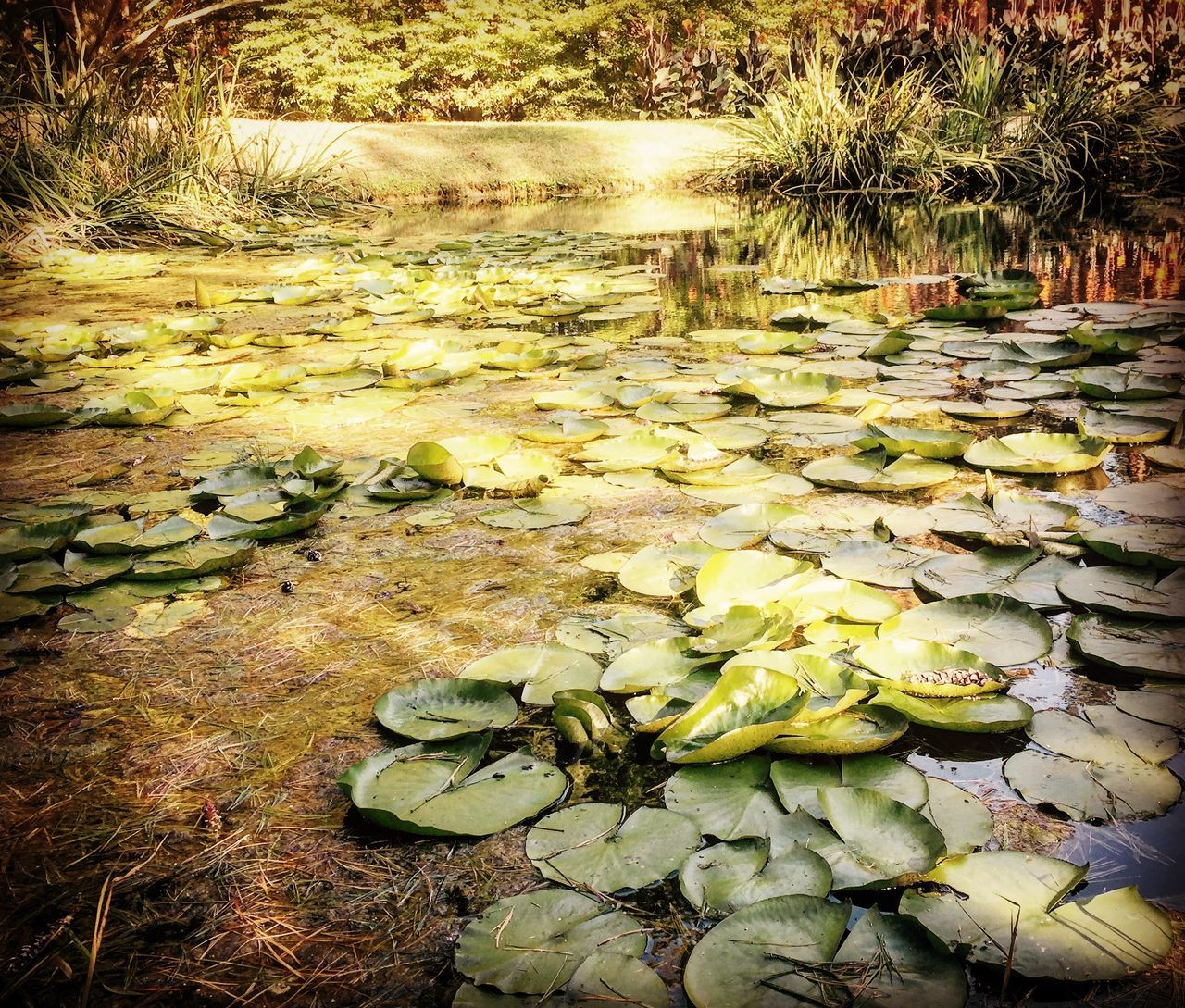 floating on water, water, water lily, pond, lily pad, leaf, nature, beauty in nature, reflection, tranquility, lotus water lily, growth, no people, floating, day, outdoors, green color, water plant, plant, waterfront, flower, fragility, freshness