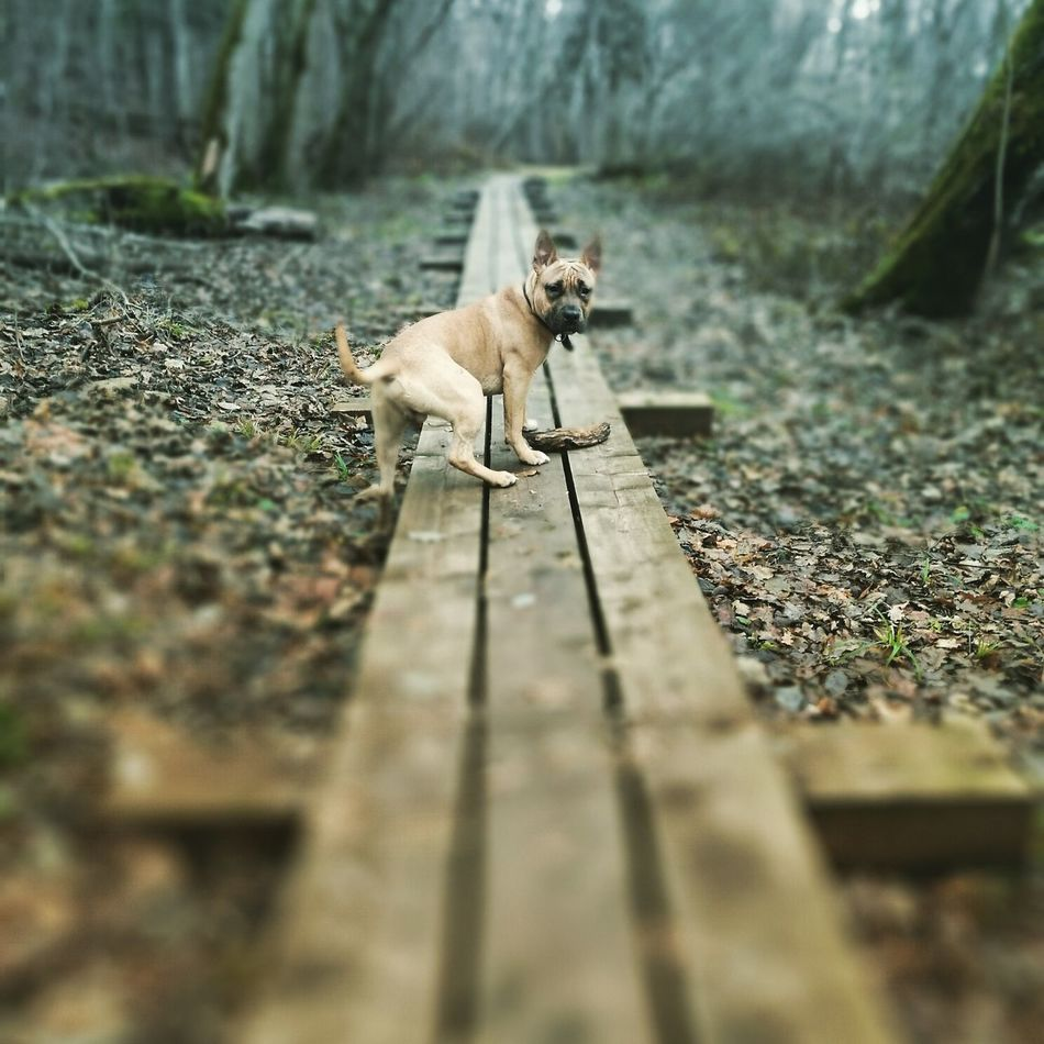 Stafford Animal Pets Animal Themes Dog Domestic Animals Outdoors Nature Day Woods Forest Sigulda Bebru Taka Dogwalk Staffordshire Terrier Dog Love Dog Lover Leisure Activity Walk Walking In The Woods Walk Staffy Staffylove Staff Staffysmile Staffie