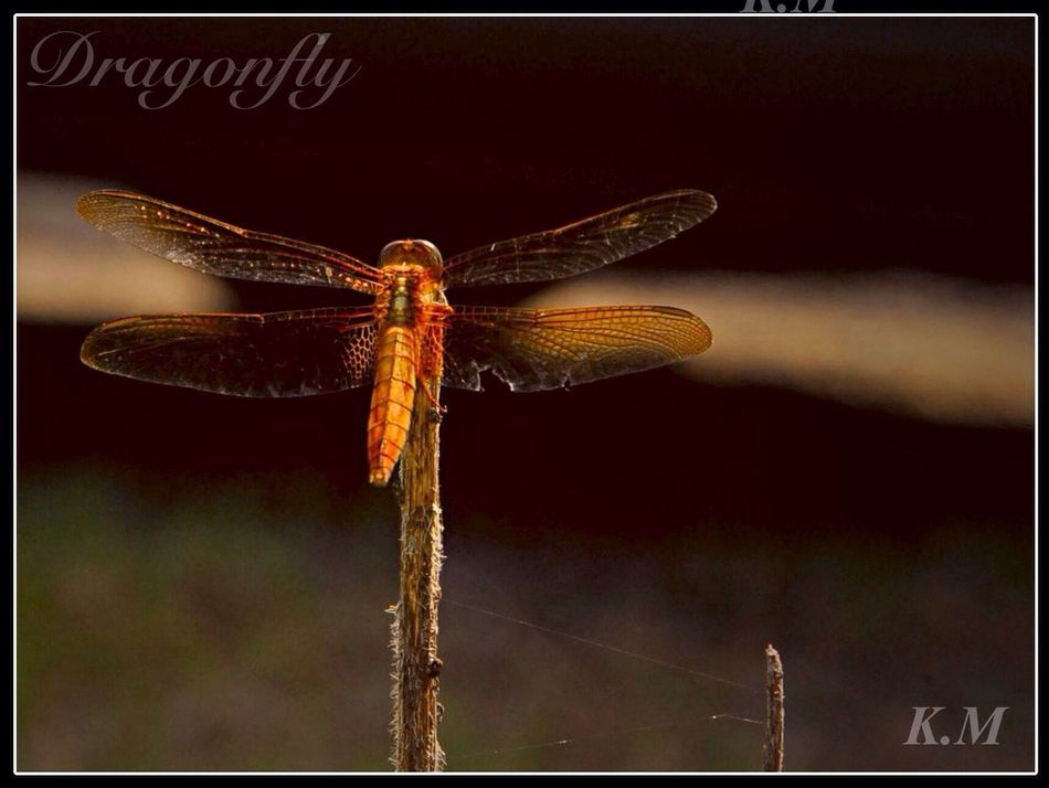Dragonfly shining red Tadaa Community Dragonfly Insect 勝トンボ