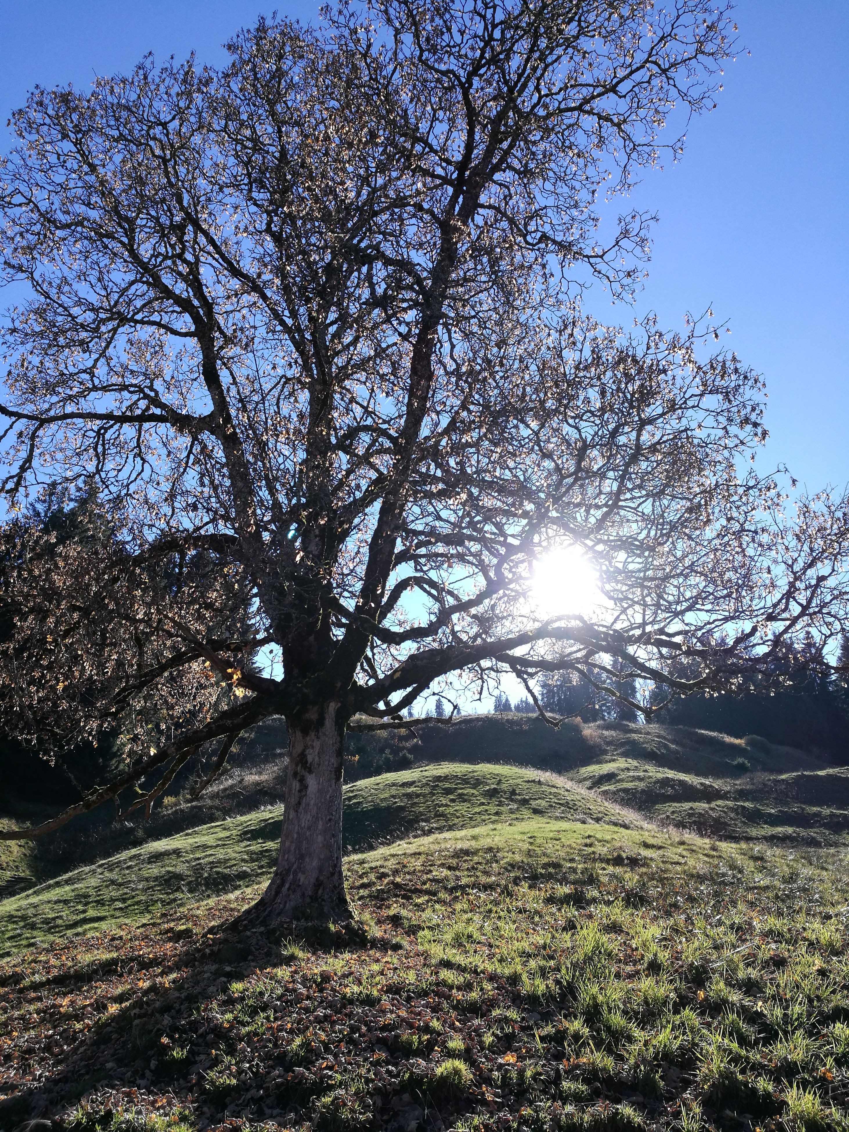 sunlight, sky, tree, nature, lens flare, sun, no people, outdoors, beauty in nature, growth, sunbeam, low angle view, day, tranquility, scenics