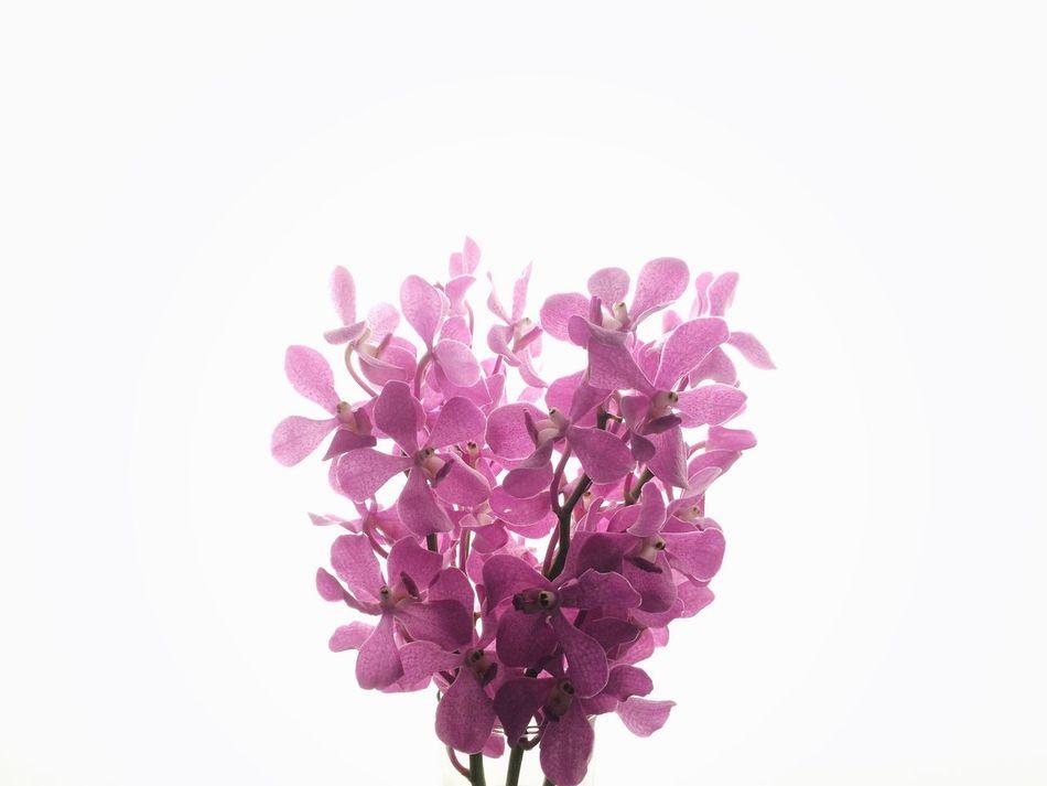 pink Stillphotography Still Life Flowers Pink Pink Flower Highkey