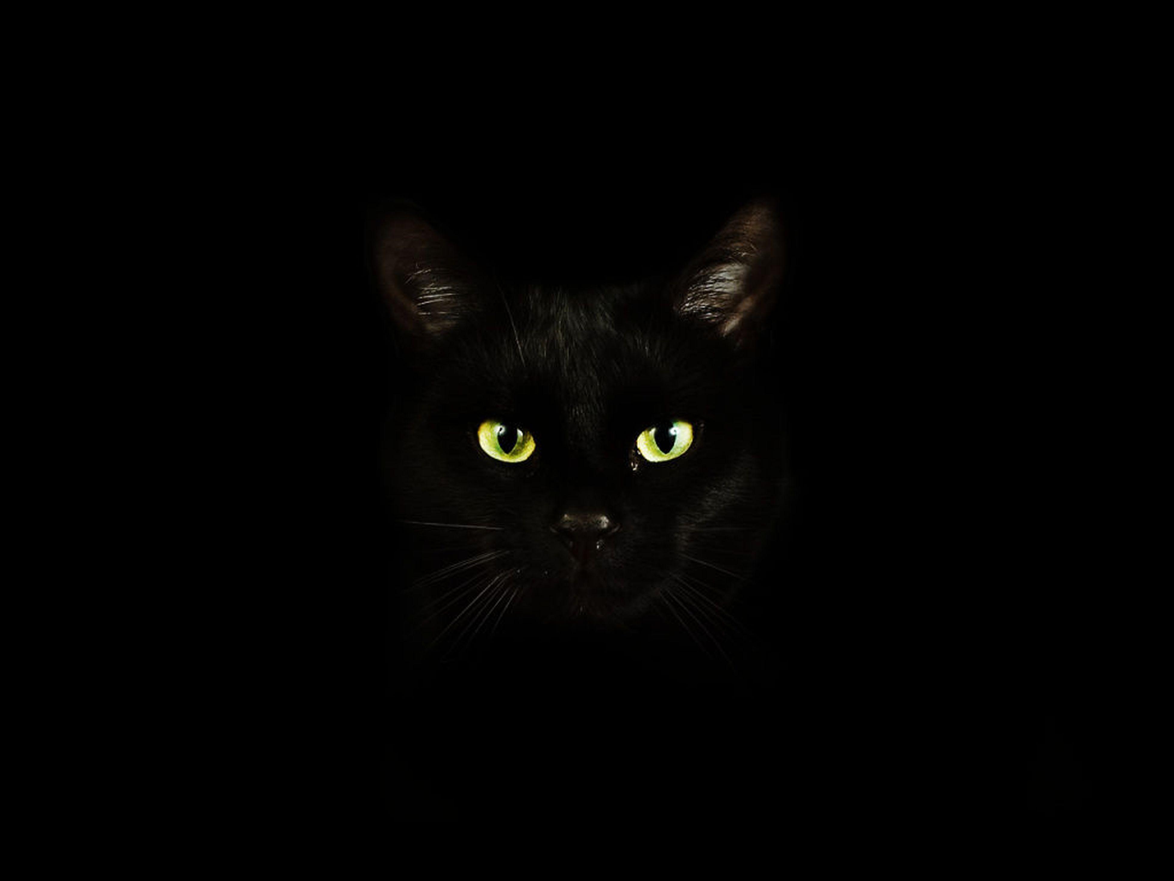 pets, domestic animals, one animal, portrait, indoors, looking at camera, domestic cat, cat, animal themes, black background, studio shot, staring, mammal, feline, black color, dark, copy space, close-up, darkroom, animal head