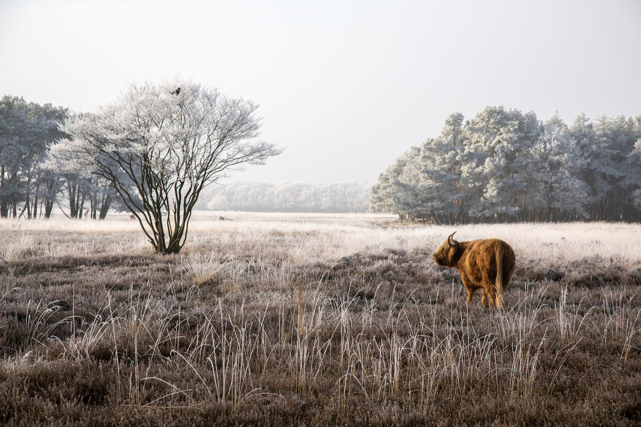 Scottish Highlanders in a winter landscape Herbivorous Livestock Beauty Of Nature From My Point Of View Cattle Animal Themes Winter Trees Winter Wonderland Scottish Highland Cattle Beauty In Nature Beautiful Nature Winterwonderland Winterscapes Winter Landscape Winter Scottish Highlander Winter_collection Landscape Winter 2017 Highland Cattle Heather Wintertime Nature Tranquility Bird