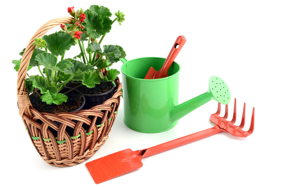 Geranium flowerpot in a basket with gardening tools like garden fork, shovel, water can. isolated background Basket Shovel Red Flower At Its Best Geranien Red Geranium Gardening Tools Isolated White Background Red Flower Isolated Red Flowers Watercan Giesskanne Gardening