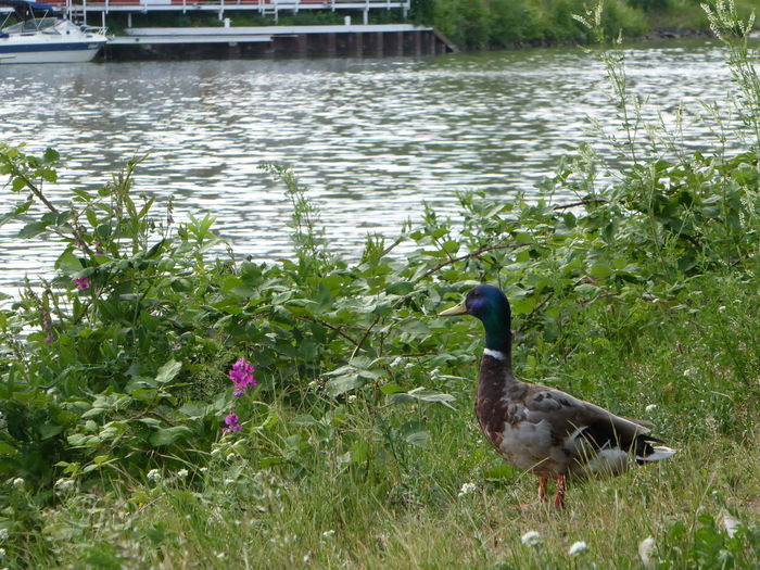 Enjoying The View beauty on my doorstep Animals In The Wild Scenery Water Nature Beauty Tranquil Scene For My Friends 😍😘🎁 My Soul's Language Is📷 Eye4photography  Simple Things Are The Best  Zoom ♡i go down on my knees for ducks🤗😄 Water Plants At The Waterfront Thankful🦄 Am Mittellandkanal In Hannover Ducks On My Way Enterich