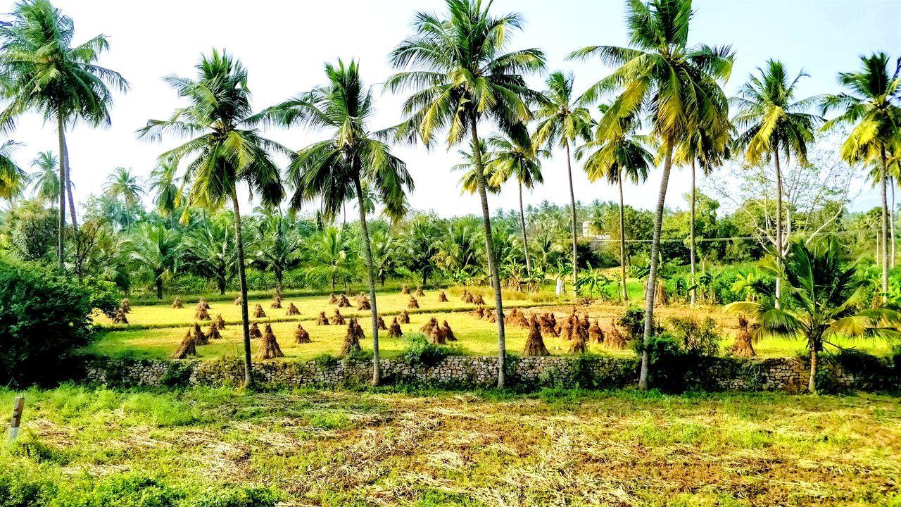 Farm land coconut trees and corn EyeEm Best Shots EyeEm Nature Lover EyeEm Gallery EyeEm Gallery Travelporn Travelphotography Travel Photography Tree Day No People Outdoors Text Communication Grass Nature