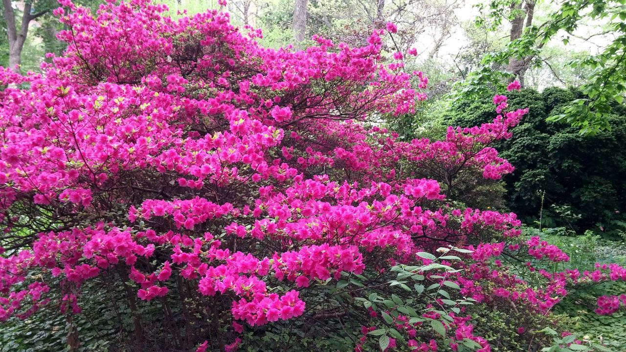 Beautiful giant Azalea near Upenn. Flowers EyeEm Nature Lover EyeEm Best Shots Pink Red Green Spring