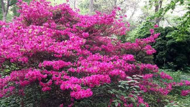 Beautiful giant Azalea near Upenn. Flowers EyeEm Nature Lover EyeEm Best Shots Pink Red Green Spring