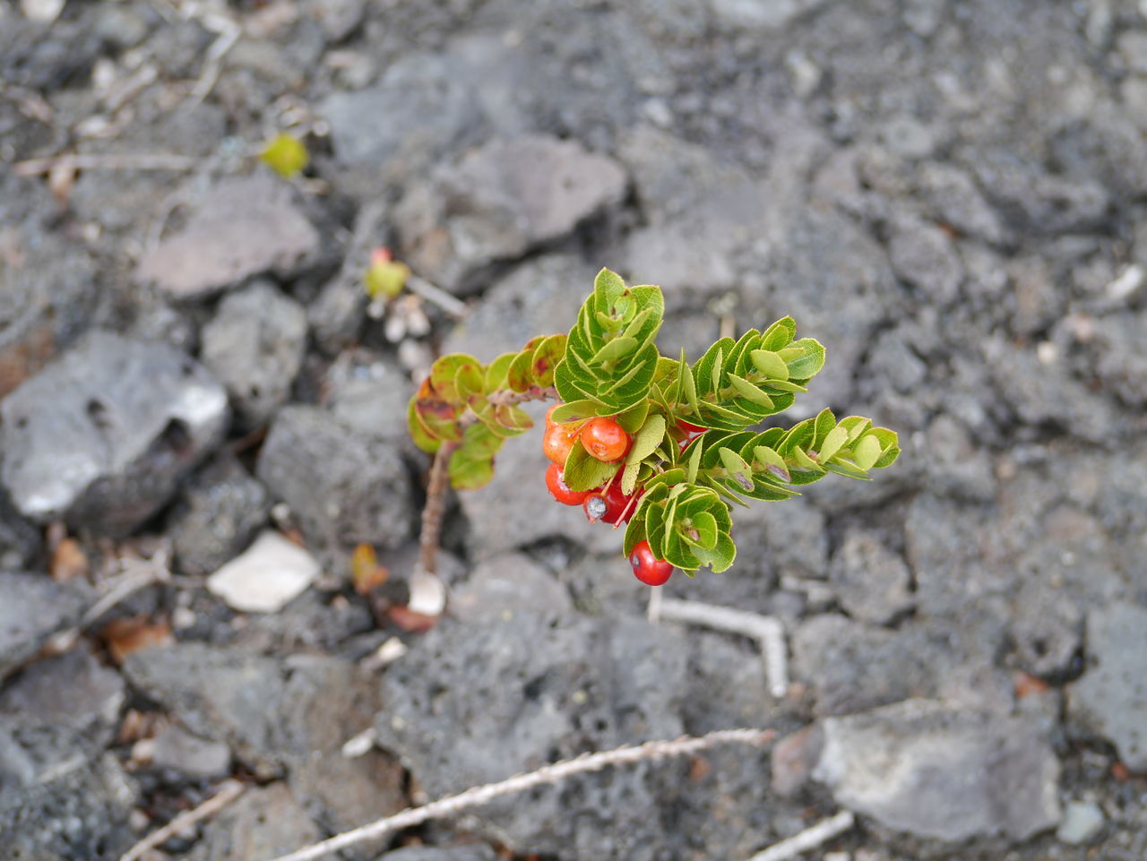 Beauty In Nature Close-up Day Focus On Foreground Growing Hawaii Hawaii Volcano Trail Hawaii Volcanoes National Park Nature No People Outdoors Selective Focus Stone Tranquility Volcano Rock Volcano Stone Market Bestsellers 2017