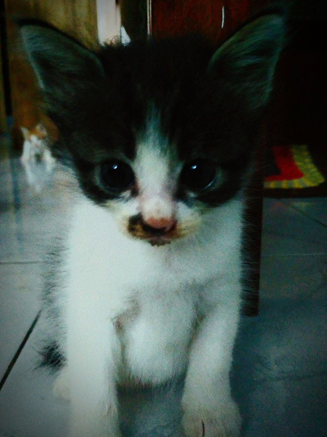 Looking At Camera Animal Themes Pets Domestic Animals One Animal Young Animal Domestic Cat Babycat🐱 Babycat Babycat ❤ Cat♡ Babycat💕🐾😻