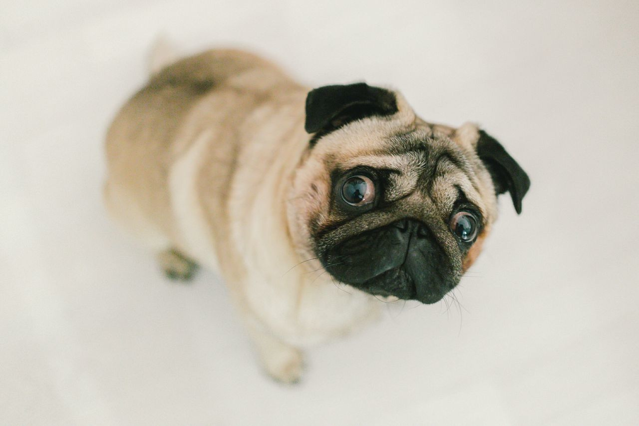 Beautiful stock photos of pugs, Animal Behavior, Animal Themes, Close-Up, Day