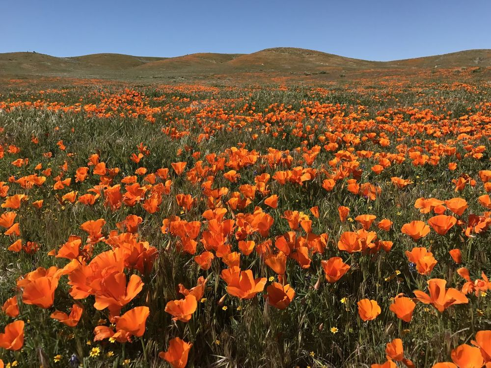 Beauty In Nature Blooming Close-up Day Field Flower Flower Head Fragility Freshness Growth Landscape Nature No People Orange Color Outdoors Plant Poppy Scenics Sky Tree
