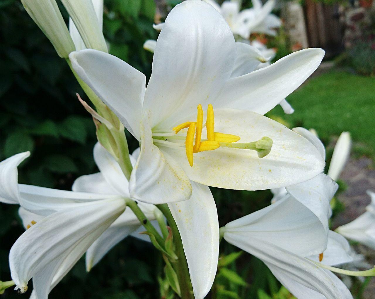 Weiße Lilie Flowers,Plants & Garden Flower Collection Flower Photography Flower Of Eyeem