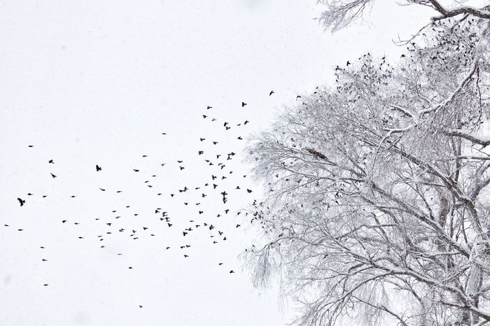 Hawk scattering a flock of starlings. Flying Nature Sky Bird Tree Large Group Of Animals No People Flock Of Birds Animal Themes Day Outdoors Beauty In Nature Migrating Hawk Starlings