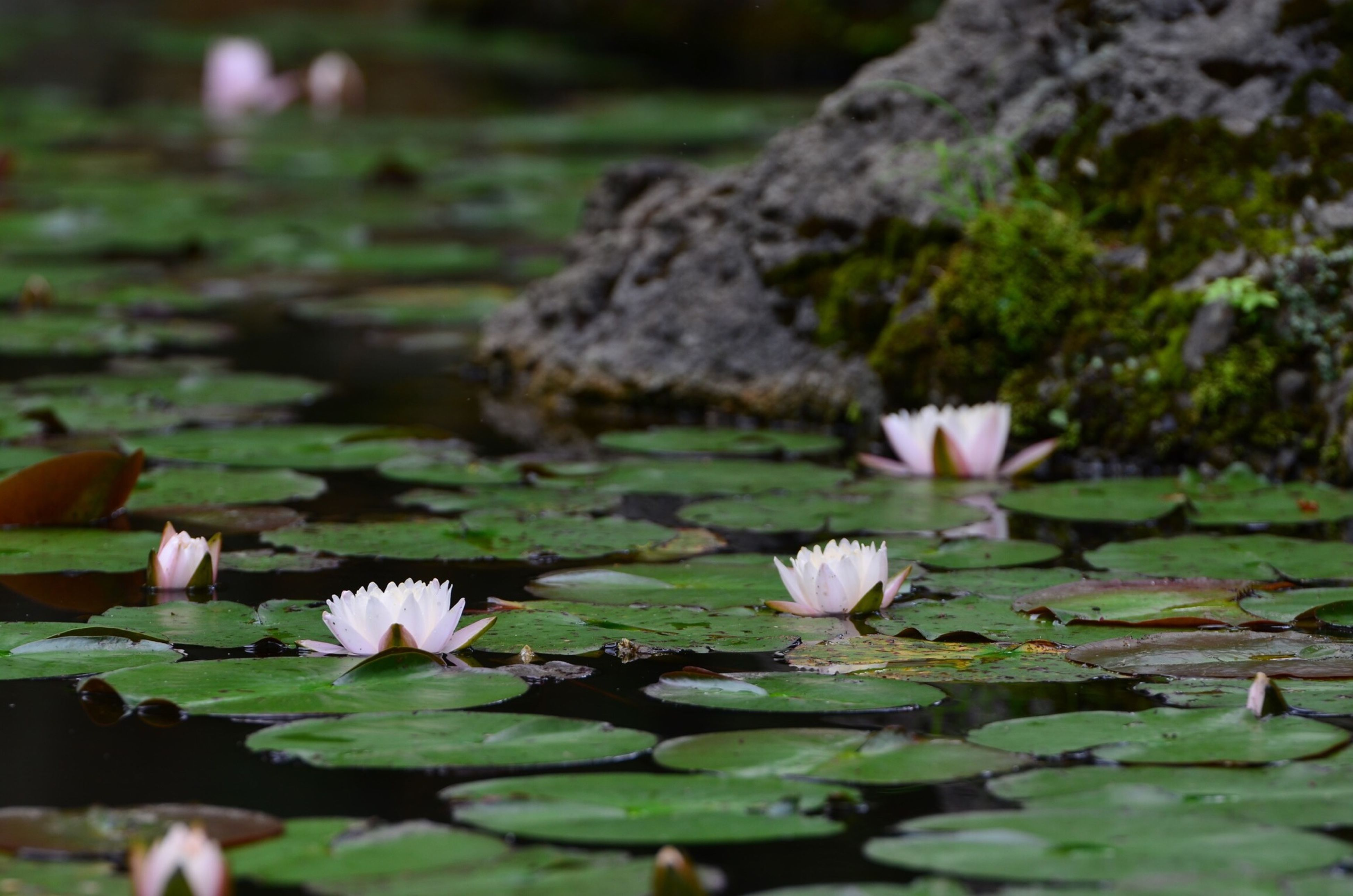 flower, petal, fragility, freshness, growth, beauty in nature, flower head, water lily, nature, pond, plant, blooming, water, leaf, white color, lotus water lily, close-up, focus on foreground, in bloom, blossom