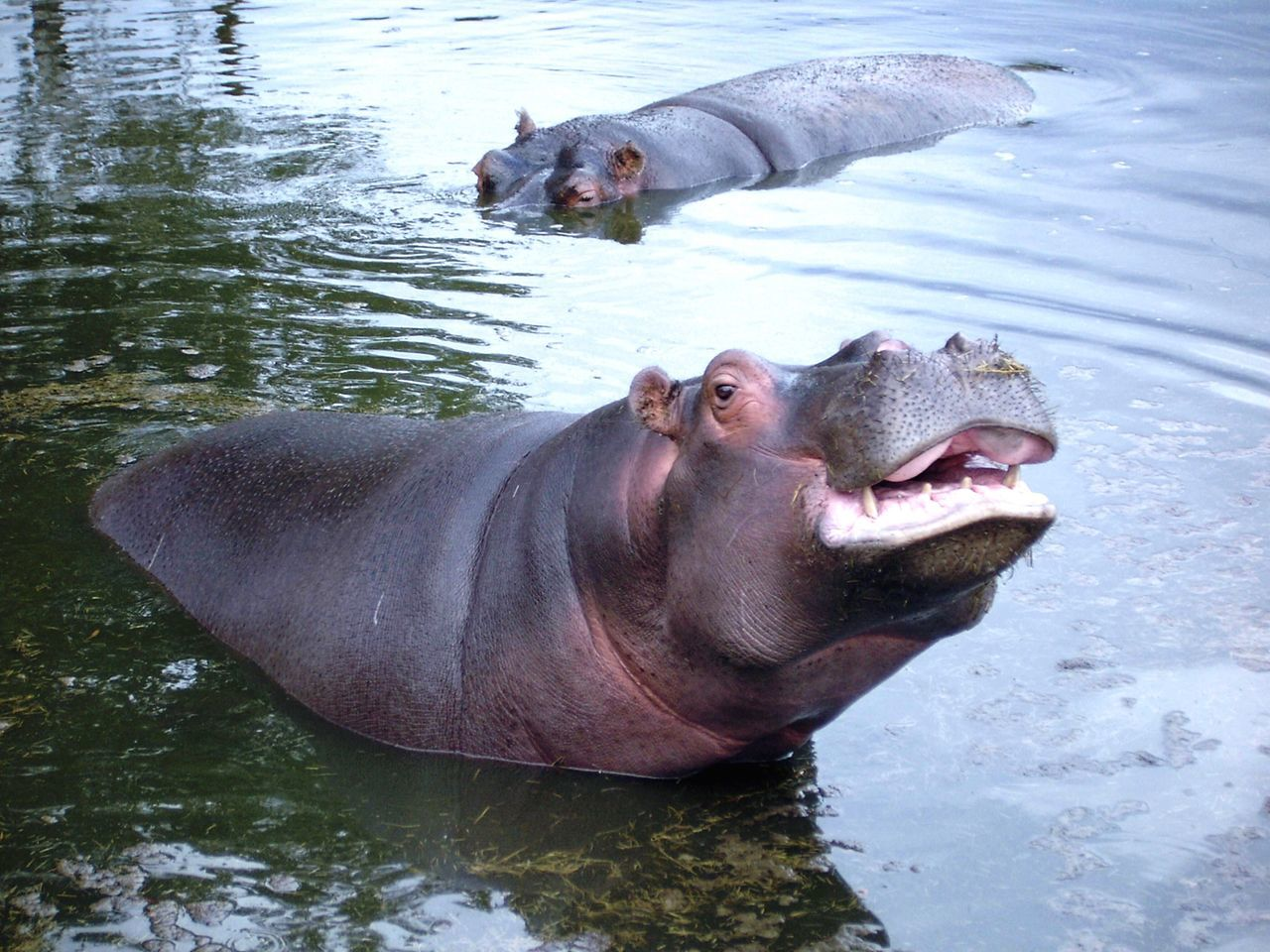 Hippo Hippopotamus Animal Wildlife Zoo Water Focus On Foreground No People Whipsnade Zoo EyeEm