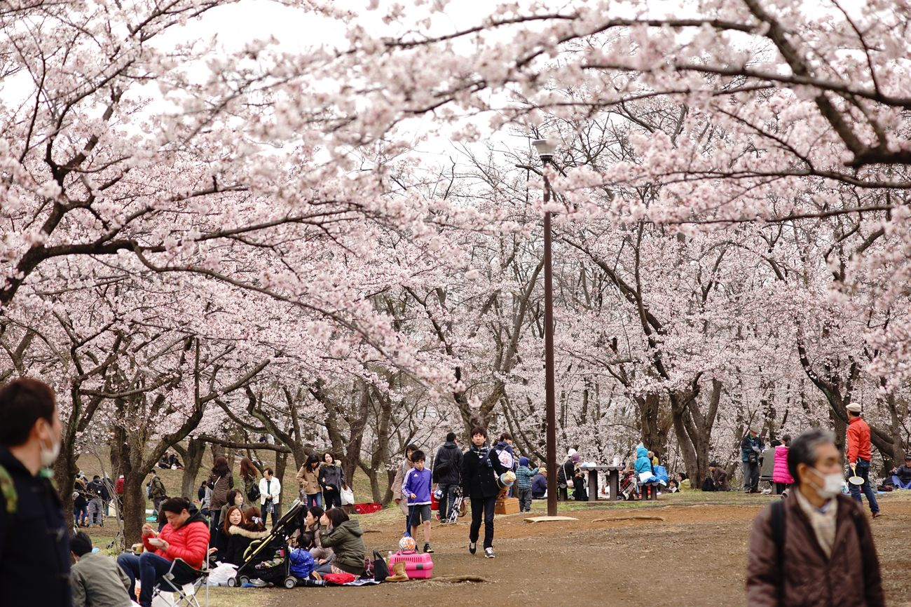 Hanami Sakura  Sakura2016 Sakura Flowers Sakura Trees Sakura Blossom Cherry Cherry Blossoms People Watching Flower EyeEm Best Shots - Nature EyeEm Best Shots - Flowers EyeEm Nature Lover Flowerporn Flower Collection Nature Photography Nature Nature_collection The Purist (no Edit, No Filter) Snapshot Taking Photos Walking Around お写ん歩