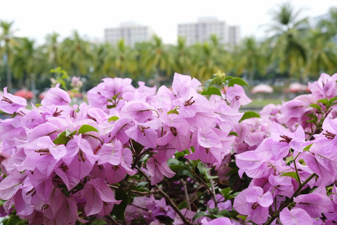 Flower Fragility Close-up Pink Color Nature Freshness Plant Petal Focus On Foreground Flower Head Beauty In Nature Growth No People Outdoors Leaf Rhododendron Blooming Day Millennial Pink