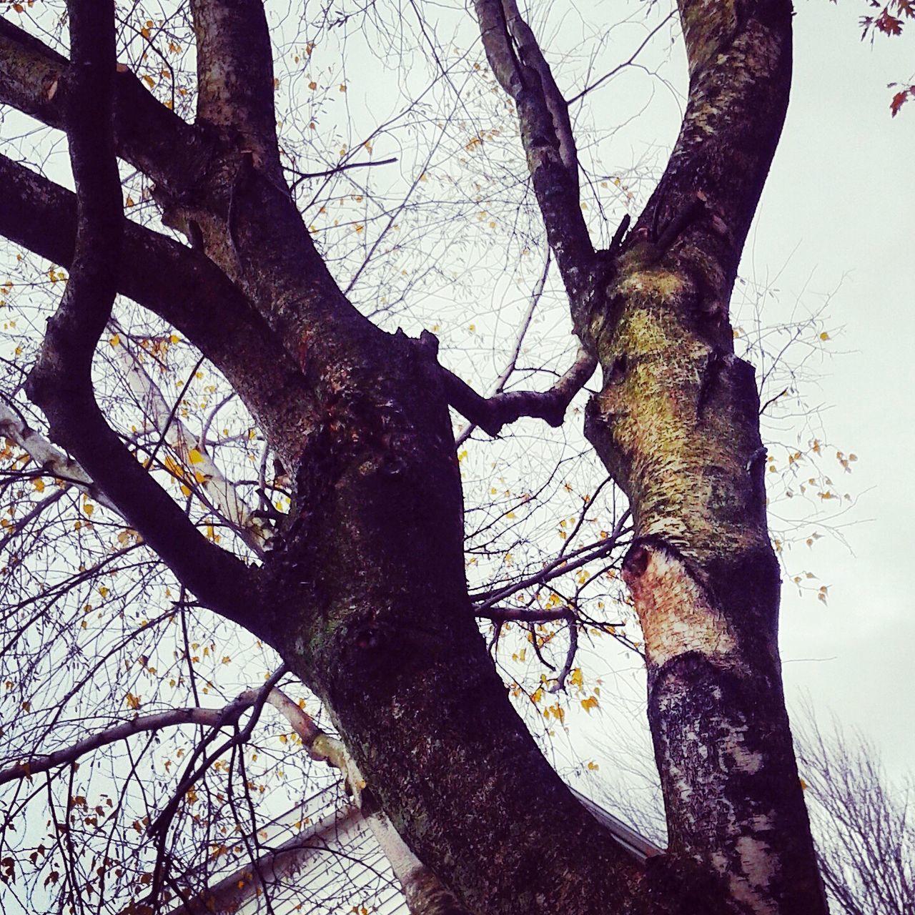 Brich Tree Nature Outdoors EyeEm Automne Autumn Bouleau Granby
