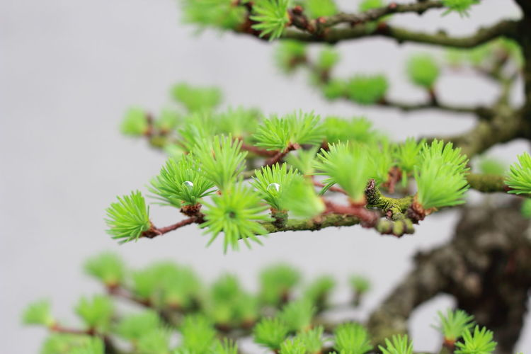 Beauty In Nature Bonsai Branch Close-up Day Focus On Foreground Green Color Growth Larix Nature No People Outdoors Plant Tree Finding New Frontiers