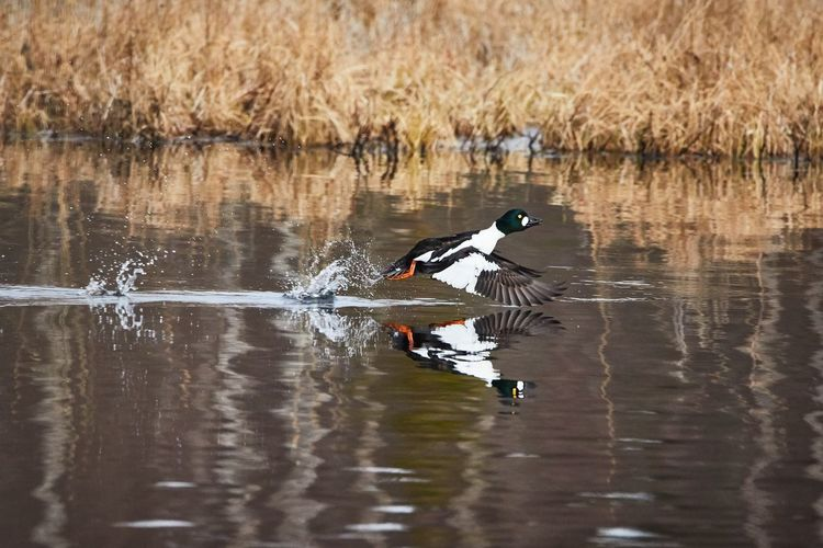 Common golden eye taking off and splashing water on the lake Animal Themes Animal Wildlife Animals In The Wild Beauty In Nature Bird Birding Birdwatching Day Golden Eye Lake Nature Nature Photography No People One Animal Outdoors Spring Springtime Take Off Water Water Bird Waterfront