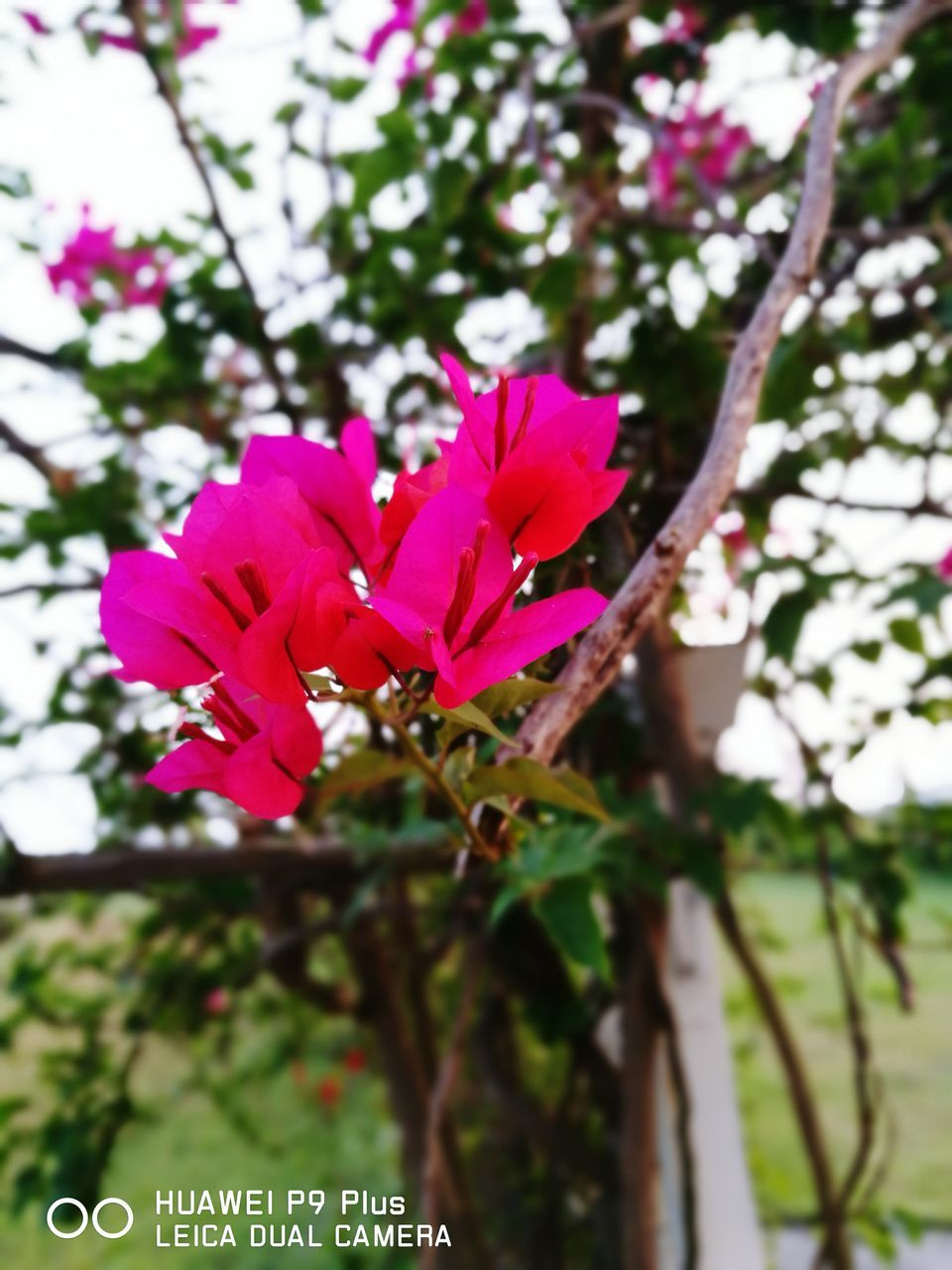 growth, flower, beauty in nature, fragility, petal, nature, day, no people, pink color, focus on foreground, close-up, outdoors, freshness, tree, flower head, blooming