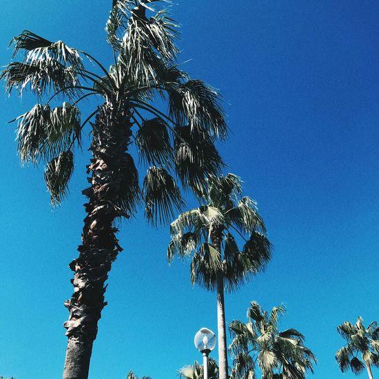 Blue Sky Clear Sky Summer Palm Tree