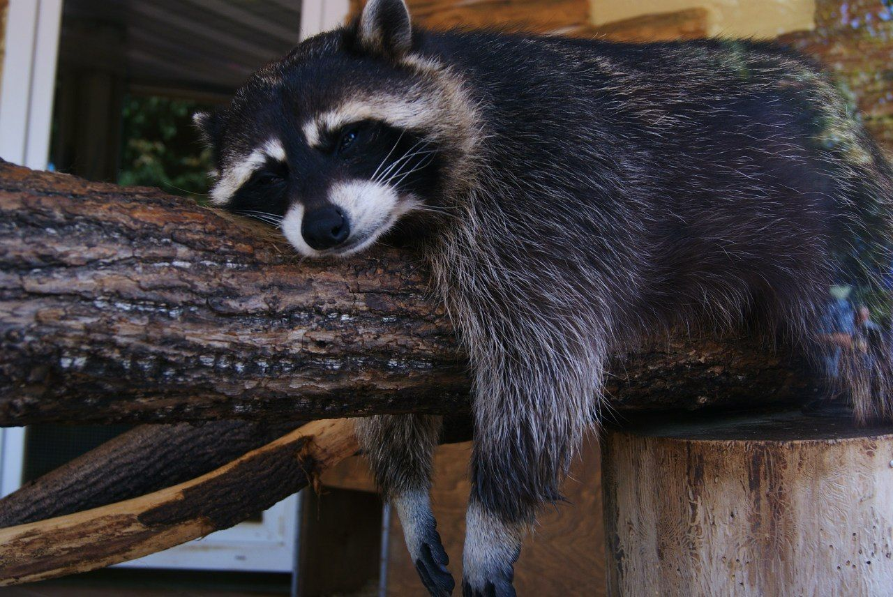 Beautiful stock photos of raccoon, Animal Themes, Animals In The Wild, Black Color, Day