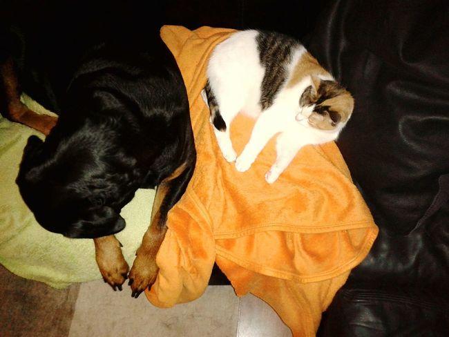 Lilli Mit Freya meine beiden weiberz :) ;-) In Germany @home ♡ Cats Of EyeEm EyeEm Dog Lover Dogs Of EyeEm { My Lovely RottWeiler } Katze Glückskatze Kleines Nickerchen.  Sleeping Time Best Buddies! ❤ Dog&catfaule Haustiere 😃