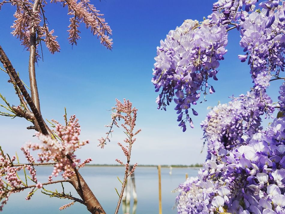 Flower Nature Beauty In Nature Tree Blossom Springtime Plant Fragility Sky Close-up Scenics Outdoors No People Branch Almond Tree Growth Freshness Flower Head Day Lagoon Glicine Glicineinfiore Cavallino Treporti Veneto Italy