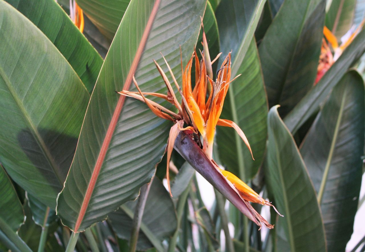 Bird of Paradise Beauty In Nature Bird Of Paradise - Plant Close-up Day EyeEm Best Shots EyeEmFlower Eyeemflowerlover Flower Fragility Freshness Green Color Growth Leaf Nature No People Outdoors Plant