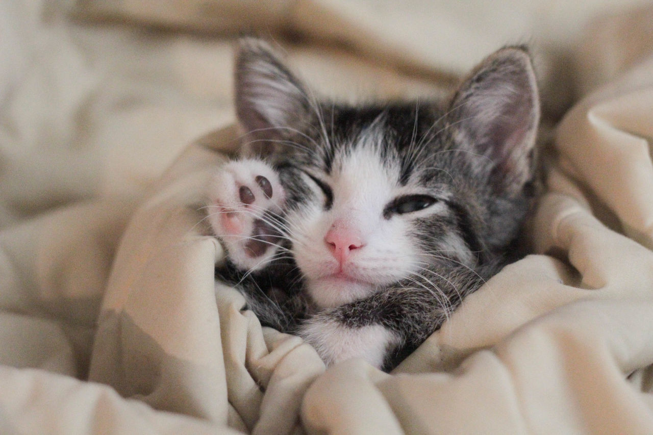 Beautiful stock photos of baby katzen, Animal Themes, Bed, Blanket, Close-Up