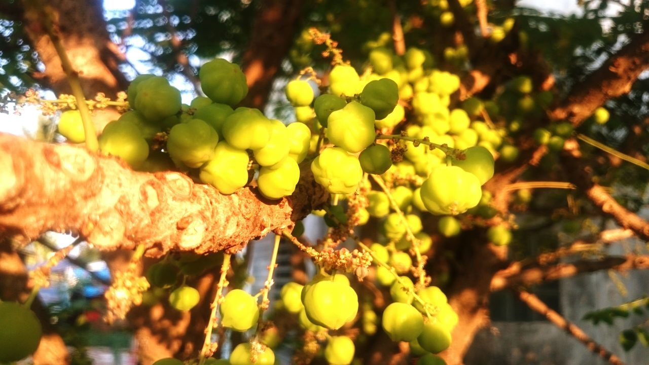 """Star Gooseberry Fruits Fruit Green Color in thai called """"Mayom"""""""