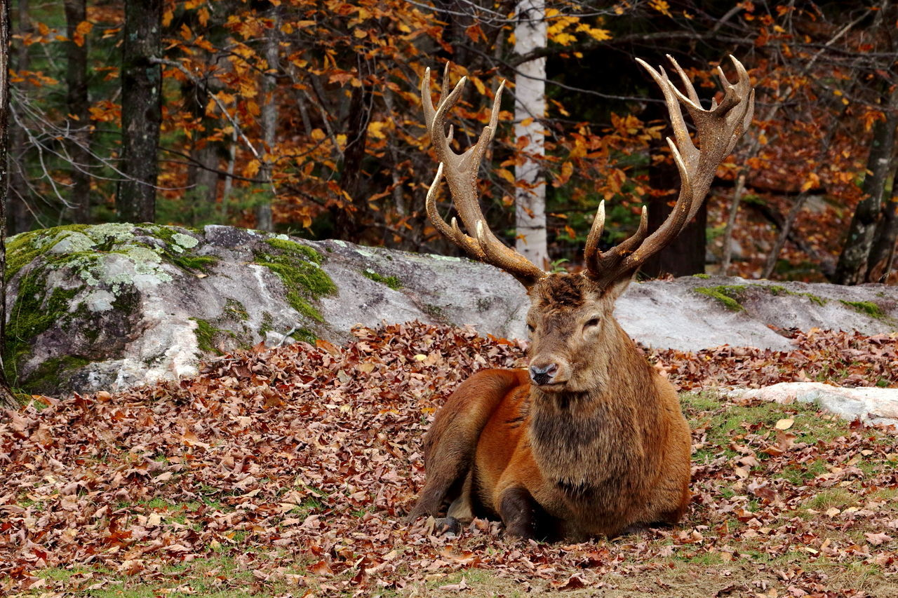 Animal Themes Canada Elk Male Animal Montebello Nature Nature Travel Quebec Resting Tourism Wapiti Wildlife