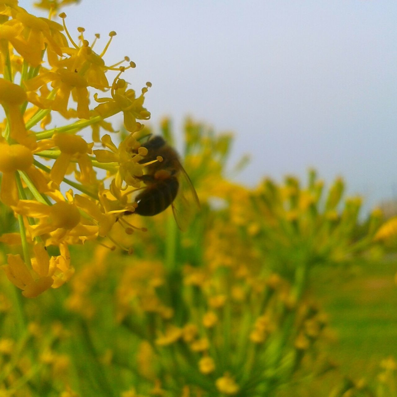 flower, growth, plant, nature, fragility, insect, petal, beauty in nature, yellow, one animal, freshness, animals in the wild, no people, animal themes, selective focus, outdoors, buzzing, bee, day, blooming, pollination, close-up, flower head, clear sky