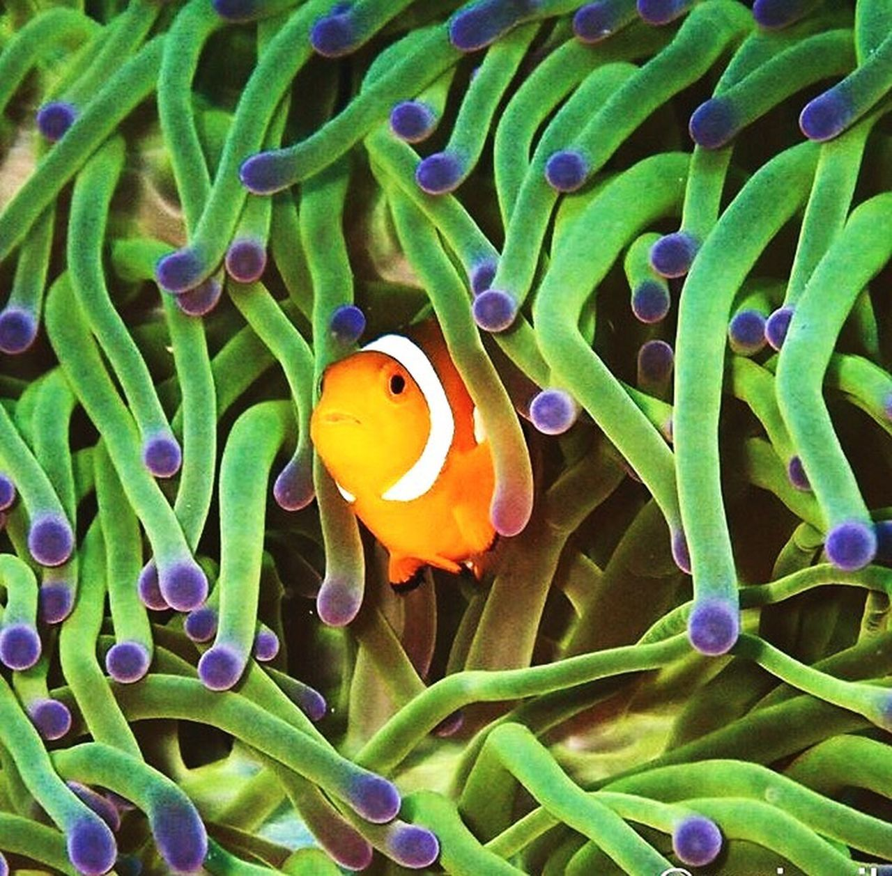 Looking from the window of love One Animal Animal Themes Sea Life Clown Fish Animals In The Wild Animal Wildlife Green Color Nature Water Swimming Fish UnderSea No People Beauty In Nature Sea Anemone Close-up Outdoors Day First Eyeem Photo Diver Dive Scubadiving Scubalife Scuba Diver