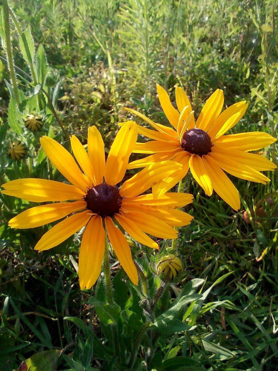 Flowers Yellow Flower Nature Sunflower