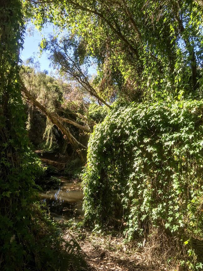 Spreading Ivy Western Australia Fantasy Gwelup Green Nature Ivy Lush Forest Secret Garden Trees Wetland Magical Garden Secret Wonderland Nature_collection Careniup Wetlands Australia Greenery Perth Woods Growth Wooded Outdoors Plants