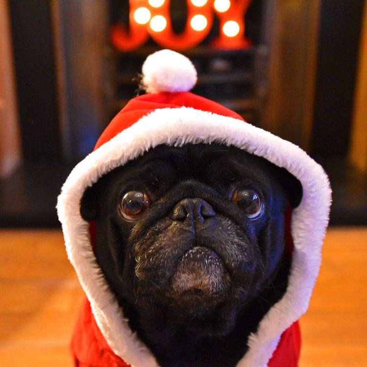 Ready for Christmas Christmas Lights Dog Father Christmas Pug Dogs Cute Cute Pets Pet Photography  Pets Corner Best Christmas Lights