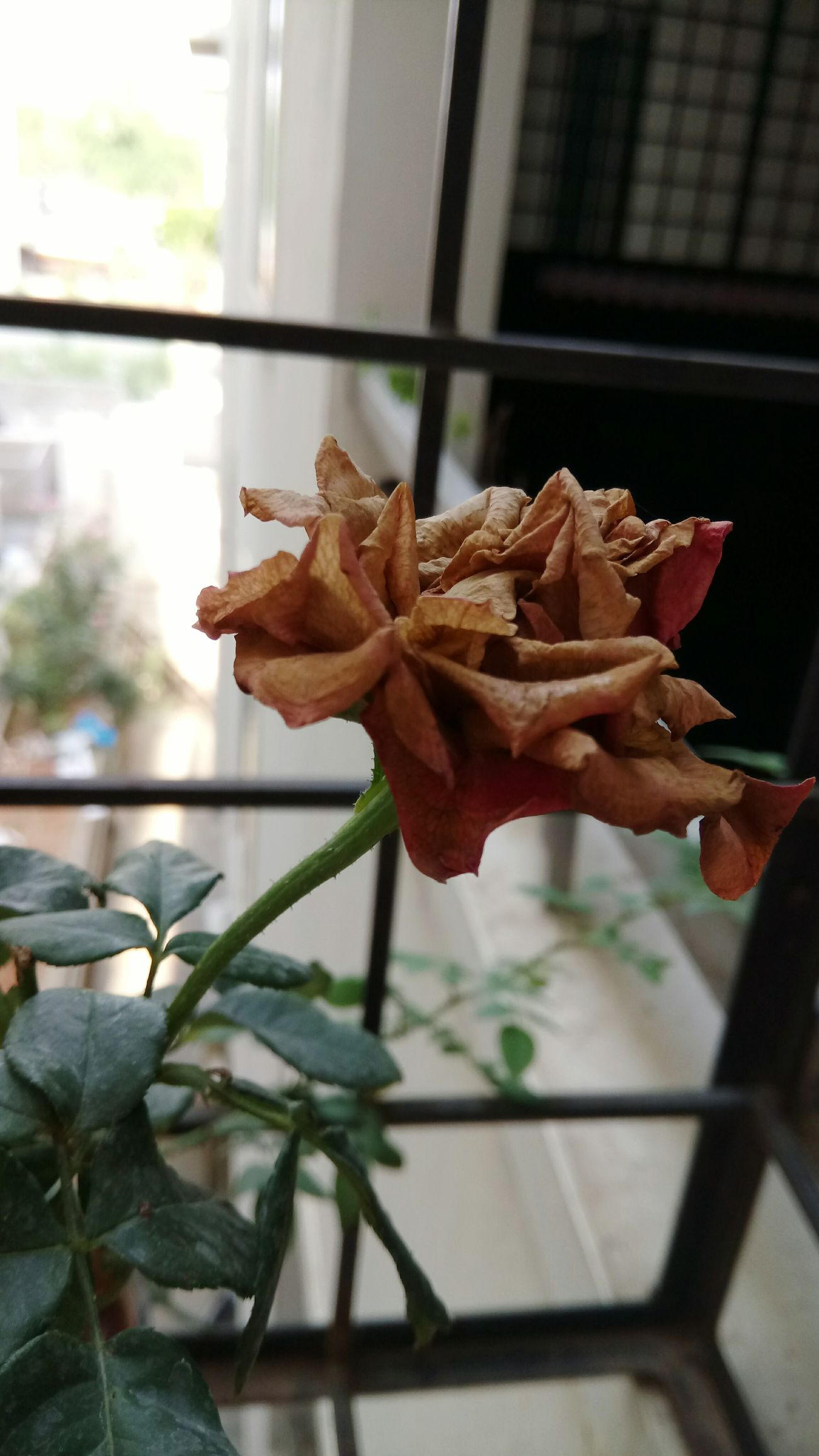 Beautifully withered Mobilephotography Mobile Photography Sony Xperia Photography. Flower Fragility Nature Close-up Roses Rose - Flower Withered Flower Withered Beauty Withered Plants Beauty Of Decay Beauty In Nature Flowers,Plants & Garden Flowers Colors Of Nature
