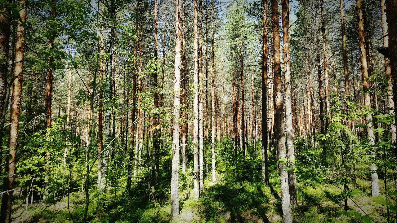 Finnish Forest Nature Woods Deep Woods Summer Pine Trees Fir Trees Finland Beautiful Beautiful Nature Cellphone Photography