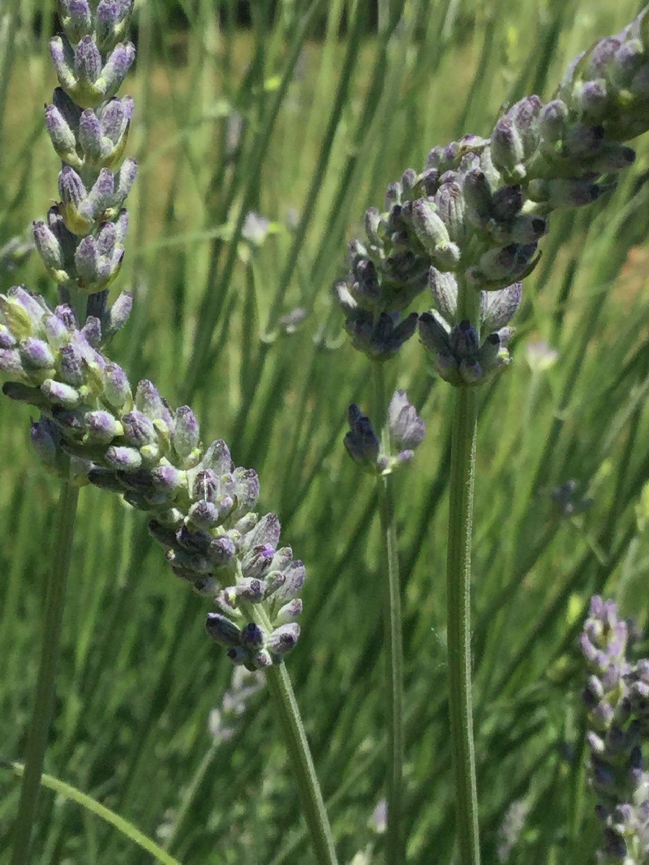 Corse Growth Nature Plant Beauty In Nature No People Flower Fragility Outdoors Close-up Purple Freshness Lavender Lavenderflower