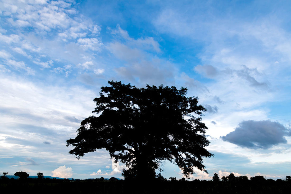 Silhouette of banyan tree in the cloudy day. Twilight Background; Banyan Tree; Beauty; Blue Sky; Cloudy; Colorful; Dusk; Evening; Field; Haze; Landscape; Meadow; Nature; Outdoors; Park; Shadow; Silhouette; Sunset; Trees; Tropical; White Cloud;