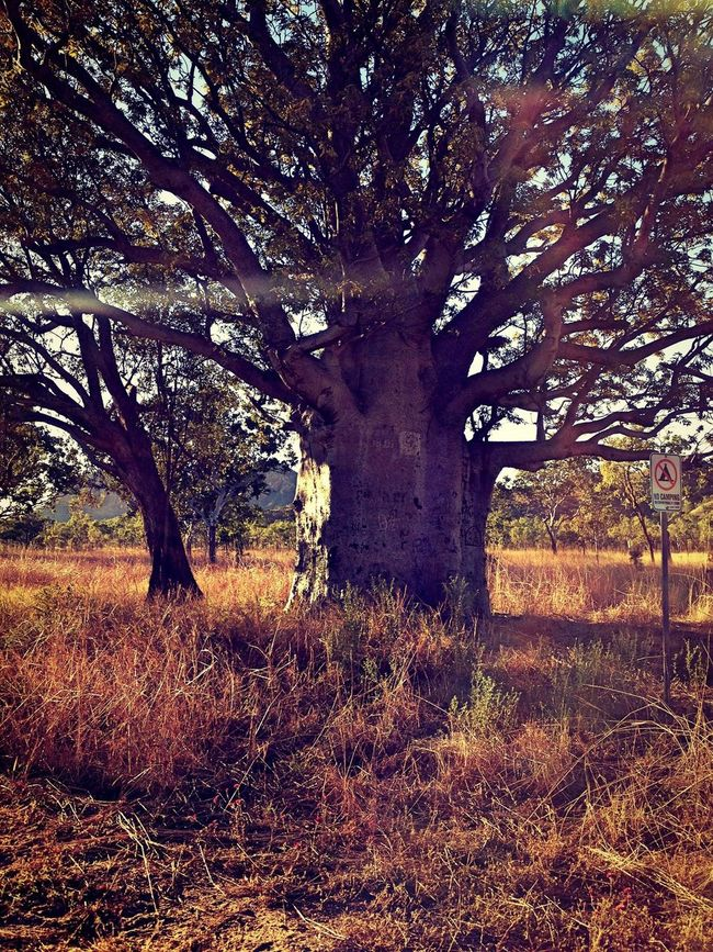 Beautiful Boab Tree near Lake Argyle in Western Australia