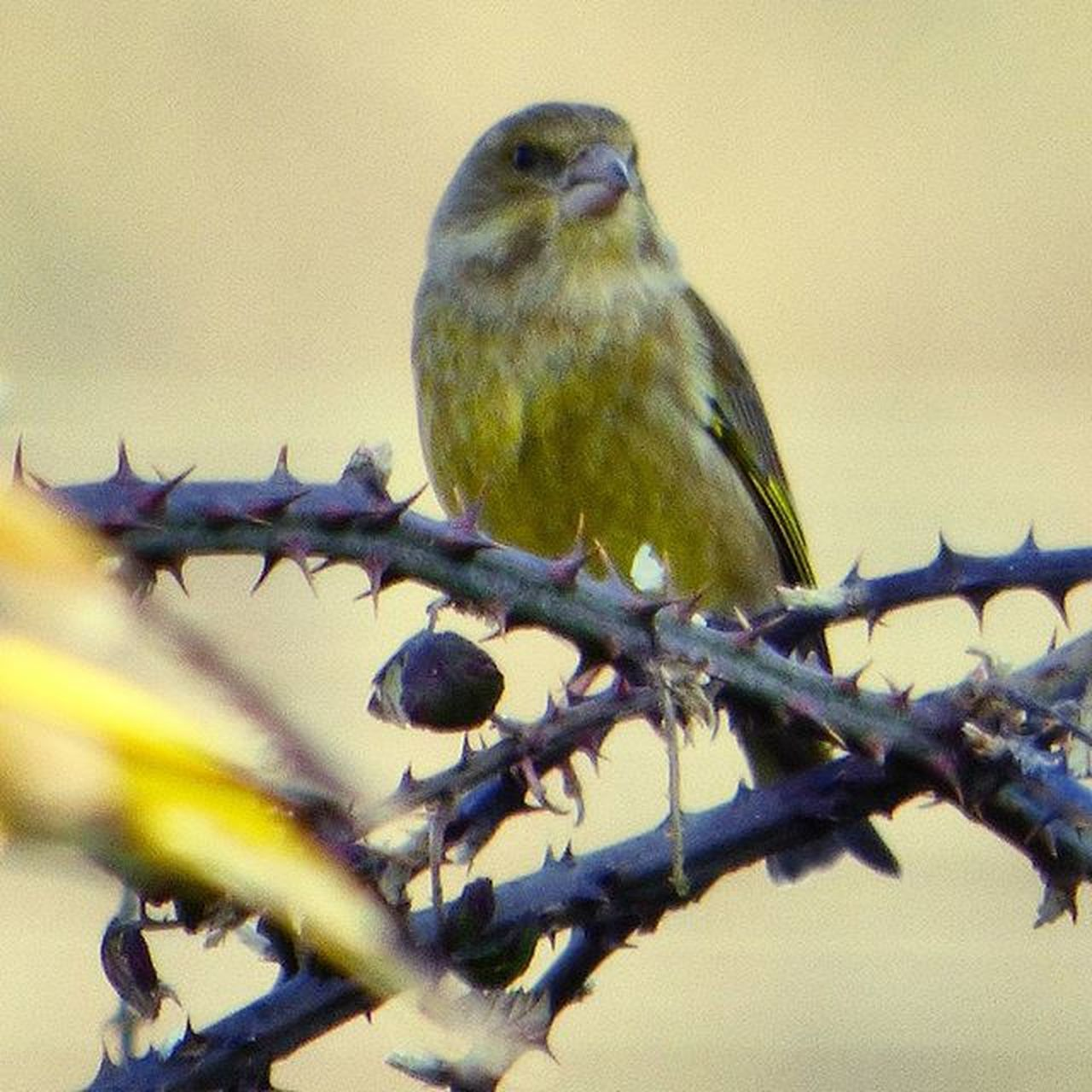 First Greenfinch I've seen, poised and waiting for his turn at the feeder. Nature Photography Uknaturecollective Nature Wild Followme Ig_birdlovers Ig_birdwatchers Nuts_about_birds Wildlife Nature England Rsa_nature Ukwildlifeimages Springwatch Naturehippys