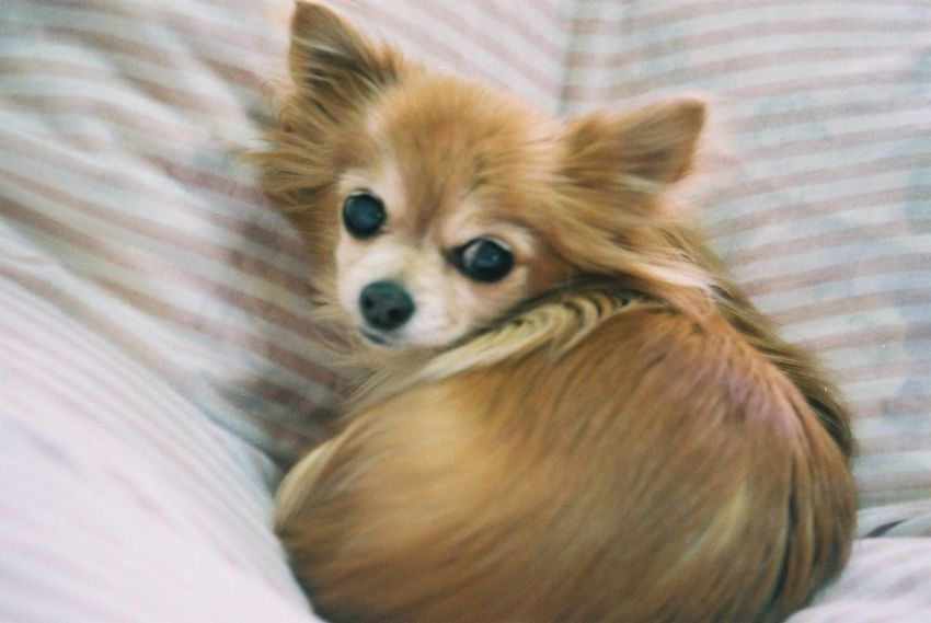 Pentax SpII Fujicolor Industrial 100 Chiwawa Pets Dog Domestic Animals One Animal Looking At Camera Indoors