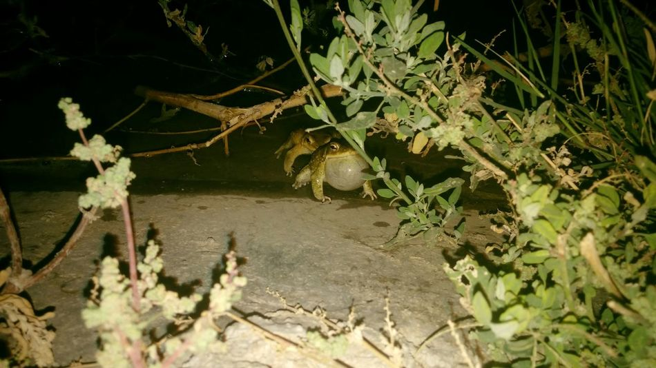 Frogs were Whisteling and creating loud sound in darkness of night. Seemed it was Nature Call Nature Beauty Frog Bladder
