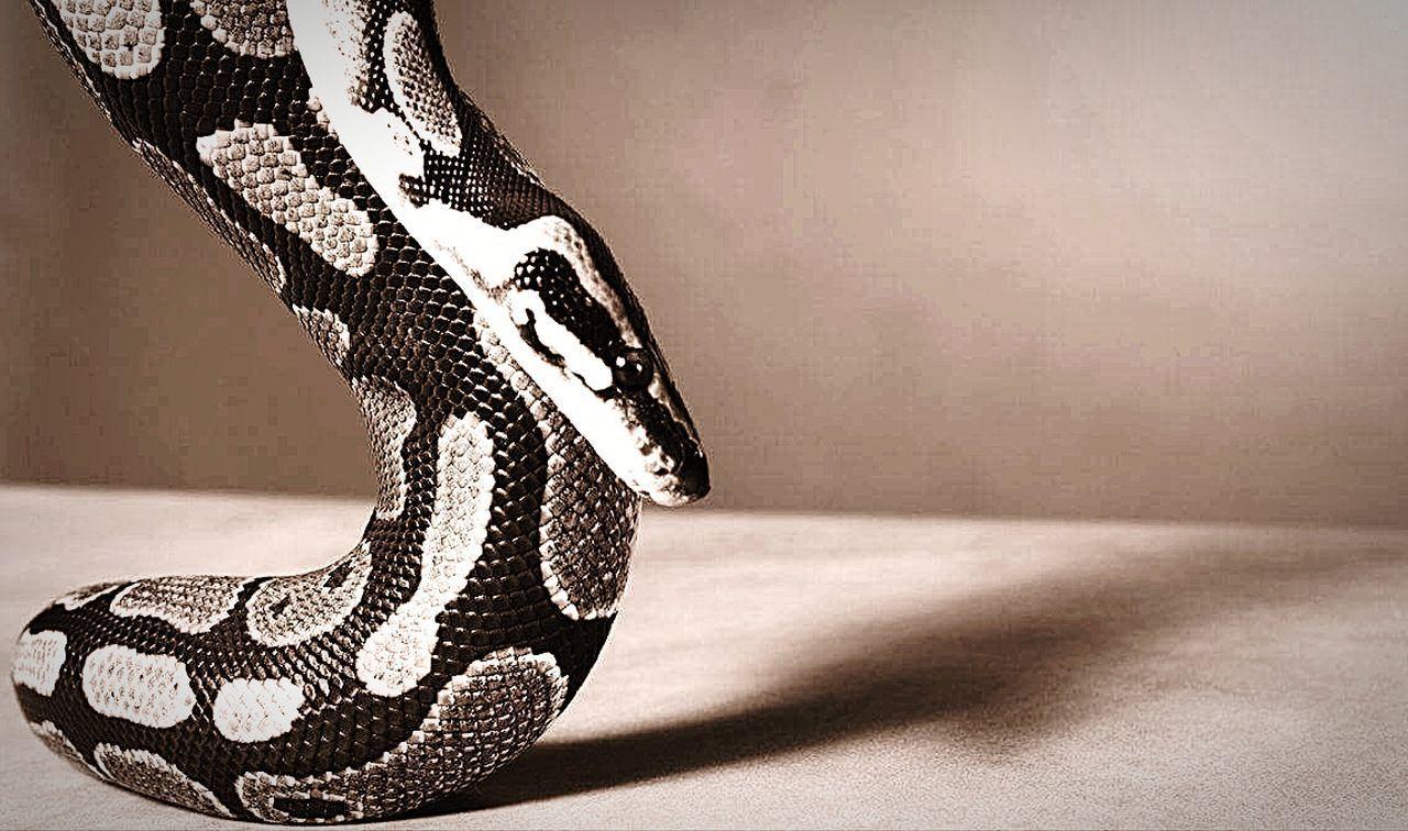 Snakes EyeEm Snakes Of Eyeem Pythonregius Python Royal