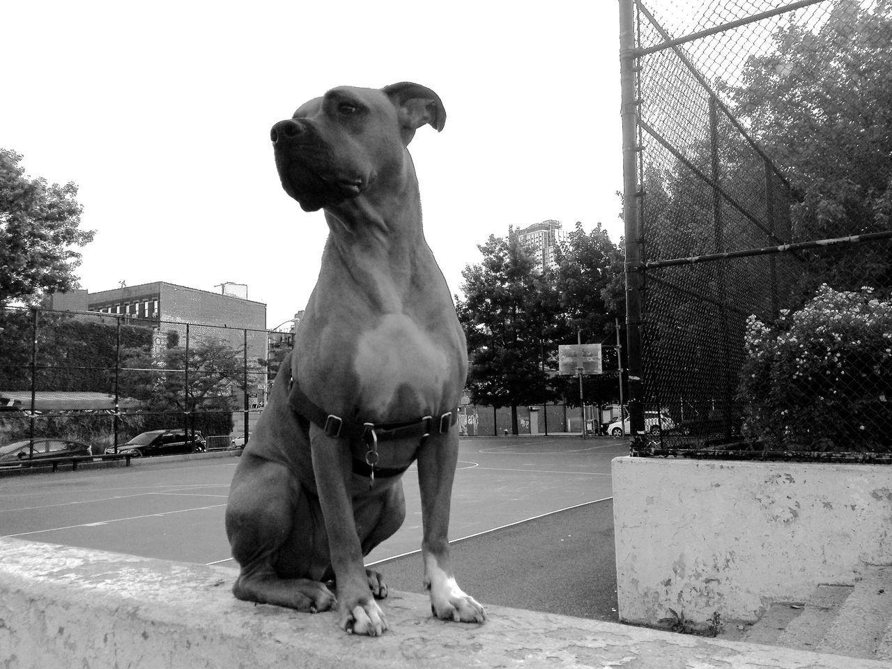 Rufus. Dog. Animal Head  Animal Themes Dog Domestic Animals Looking At Camera No People Pets Pitbull Pitbulls Portrait